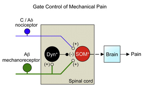 Gate Keepers: Study Identifies Spinal Cord Circuit for Mechanical ...